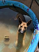 German shepard mix in a pool.jpg
