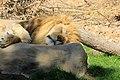 Gfp-lion-sleeping.jpg