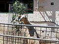 Ghi, pettingzoo (goat feast- happyness).jpg