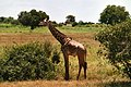 Giraffe (3661465692).jpg