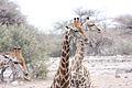 Giraffe (Giraffa camelopardalis) (8604337640).jpg