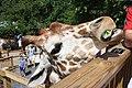 Giraffe at Elmwood Park Zoo 03.JPG