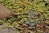 Glinus oppositifolius (Bitter cumin) W IMG 0461