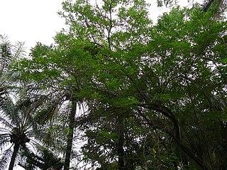 <i>Gliricidia sepium</i> species of plant