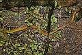 Gluttonous bighead snake (Compsophis laphystius) Ranomafana.jpg