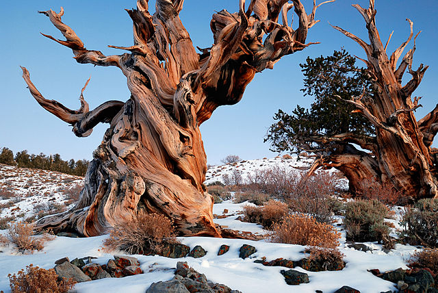 https://upload.wikimedia.org/wikipedia/commons/thumb/1/1e/Gnarly_Bristlecone_Pine.jpg/640px-Gnarly_Bristlecone_Pine.jpg