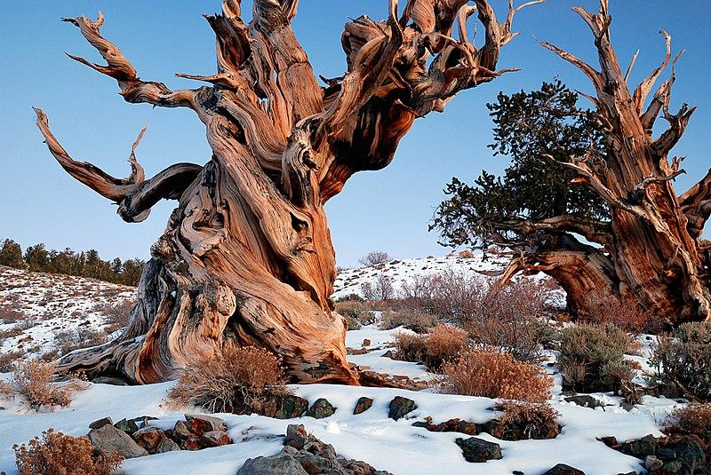 File:Gnarly Bristlecone Pine.jpg