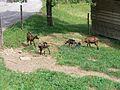 Goats in Slovenia (4757043525).jpg