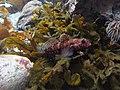Gobius cruentatus.003 - Aquarium Finisterrae.JPG