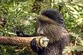 Golden monkey (Cercopithecus kandti) eating.jpg