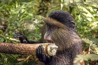 Golden monkey - Image: Golden monkey (Cercopithecus kandti) eating