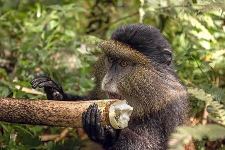 Golden monkey (Cercopithecus kandti) eating bamboo, Rwanda
