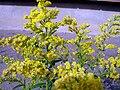 Goldenrod Flowers.jpg