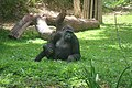 Gorila Zoo-Botânica de Belo Horizonte.jpg