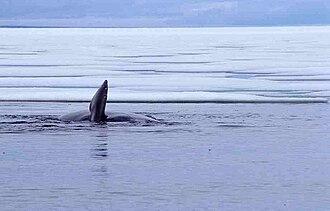 Foxe Basin - Bowhead whale (Balaena mysticetus), Foxe Basin, July 1999