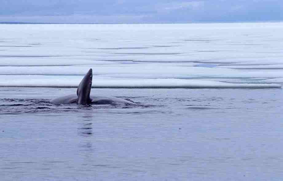 Grönlandwal 4-1999