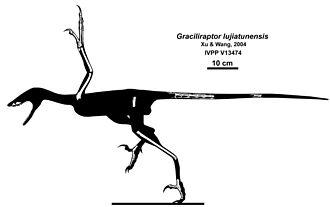 Graciliraptor - Skeletal restoration of known remains