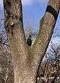 Grand cormoran arbre Schönbrunn.jpg