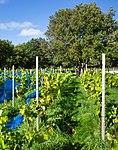 Grape plants and bird nets in Chateaux Luna vineyard 3.jpg