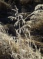 Grass panicle with frost.jpg