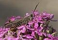 Grasshopper - Çekirge 08.jpg