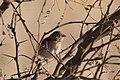 Grasshopper Sparrow Curly Horse Ranch Rd Sonoita AZ 2018-01-26 09-12-19 (39904378702).jpg