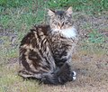 Gray-Brown Tabby Cat.jpg