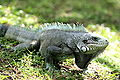 120px-Gray-iguana-iguana
