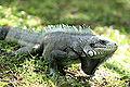 Gray-iguana-iguana.jpg