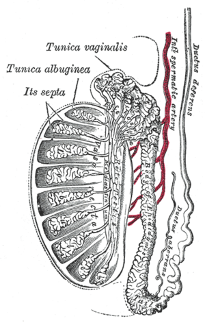 Efferent ducts - Vertical section of the testis, to show the arrangement of the ducts. (Labeled as vasa efferentia as top center.)