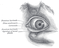 Meibomian Cyst Dog S Eyelid Natural Remedy