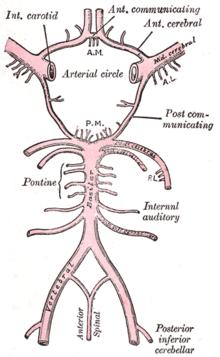 Артерии головы и шеи.  Артериальные анастомоза.  Рефераты.  Медицина.
