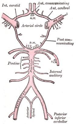 Labyrinthine artery - Wikipedia Labyrinthine Artery
