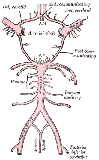 Labyrinthine artery - Diagram of the arterial circulation at the base of the brain. (Internal auditory artery labeled at center right.)