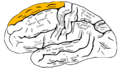 Gray726 superior frontal gyrus.png