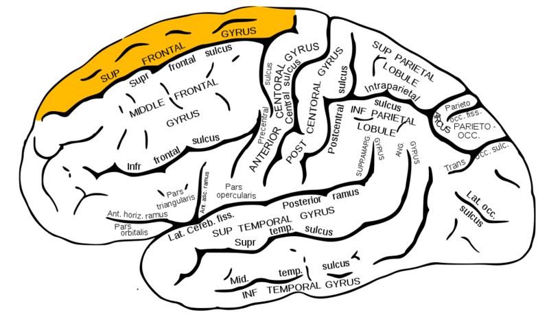 ILLUSTRATION : Gyrus frontal supérieur (Source : Wikimedia)