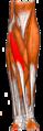 Gray — musculus flexor carpi radialis.png