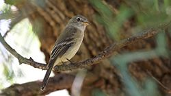 Gray Flycatcher - Patagonia Lake SP - AZ - 2015-10-02at13-57-0522 (22066368300).jpg