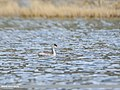 Great Crested Grebe (Podiceps cristatus) (46162461702).jpg