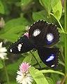 Great Eggfly Hypolimnas bolina male UP by Dr. Raju Kasambe DSCN8510 (9).jpg