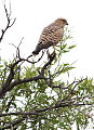 Greater kestrel, Falco rupicoloides at Pilanesberg National Park, Northwest Province, South Africa (16761014560).jpg