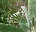 Green-striped White. Euchloe belemia - Flickr - gailhampshire (2).jpg