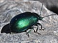Green beetle 2.jpg