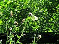Green butterfly - entomophily.jpg