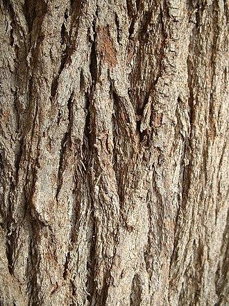 Grevillea robusta - Image: Grevillea robusta trunk bark 01