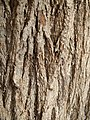 Grevillea robusta trunk bark 01.jpg