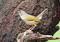 Grey-backed Camaroptera, Camaroptera brachyura, at Pilanesberg National Park, South Africa (15376728463).jpg