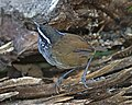 Grey-breasted Wood-wren (Henicorhina leucophrys) (20522140308).jpg