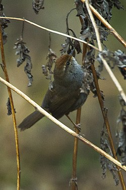 Grey-sided Bush-Warbler - Bhutan S4E9882 (16710372413).jpg