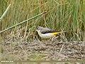 Grey Wagtail (Motacilla cinerea) (50791626458).jpg